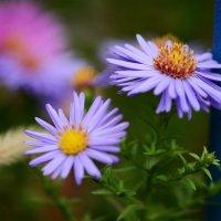 Autumn flowers :: Олег Шендерюк