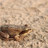 Песочная лягушка :: Александр Велигура