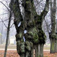 Старые липы парка :: Сергей