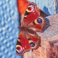 Butterfly :: Денис