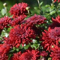 цветы осени :: Светлана