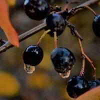 Осень плачет дождями.. :: Лариса Красноперова