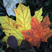 Maple leaves :: Олег Шендерюк