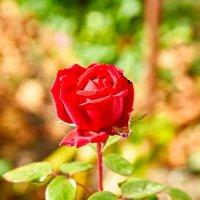 Осенняя роза :: Николай Николенко