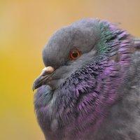 Просто голубь :: Марина Богданова