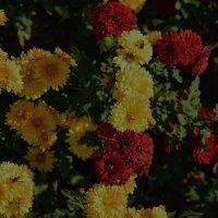 мои ноябрьские цветочки :: Роза Бара
