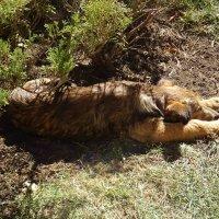 Как хорошо спится на солнышке! :: татьяна