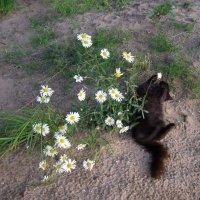 Ромашки и кошка :: Анна Воробьева