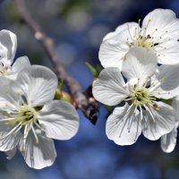 Цвет вишни :: Любовь