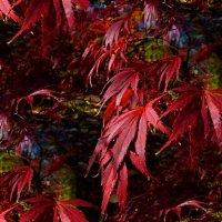 Японский клён :: Nina Yudicheva