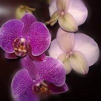 Орхидея-царица цветов :: Юлия Закопайло