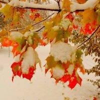 клён  под октябрьским снегом :: Александр Прокудин