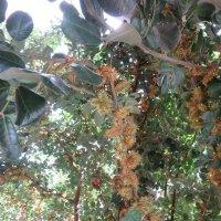Цветет рожковое дерево :: Герович Лилия