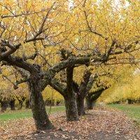 Яблочный сад :: Михаил Першин