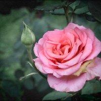 Розовая нежность :: Василиса Никитина