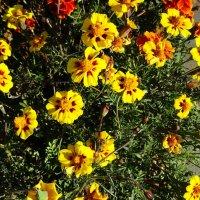 Солнечные цветы :: татьяна