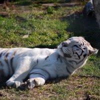 Бенгальский тигр :: Олег Шендерюк