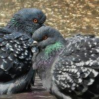 Любовь и голуби :: Владимир Шамота