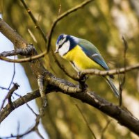 моя любимая птичка - лазоревка :: Лариса Батурова