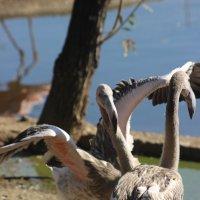 танец фламинго :: Дмитрий Солоненко