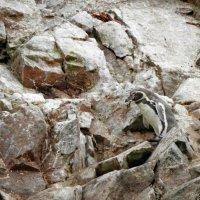 Humboldt Penguin :: чудинова ольга