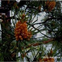 Дождливый летний день цветение сосны. :: Андрей