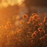 Солнечные цветы :: просто Борисыч