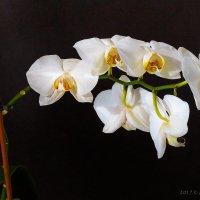 Орхидеи :: Алексей Сопельняк