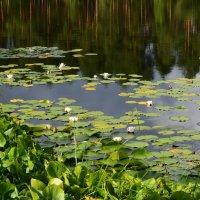 Белые лилии :: Сергей Мошков