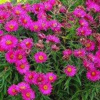 Осенние цветы и ярки и красивы :: Маргарита Батырева