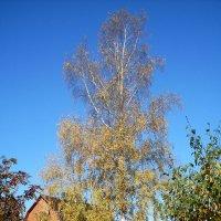 Осенняя берёзка :: Александр Куканов (Лотошинский)