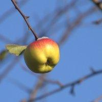 Снег на яблоке :: Валерий Самородов