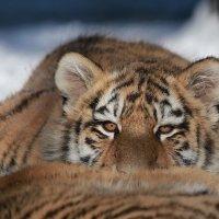 Тигренок амурского тигра :: Владимир Шадрин