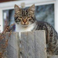 На заборе сидит кот... :: Елена Михайлова .