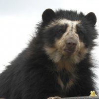 Очковый медведь :: чудинова ольга