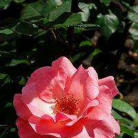 Роза №1 :: Владимир Бровко