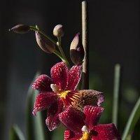 Мои орхидейки :: Оксана