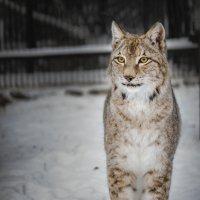 Сибирская рысь :: cfysx