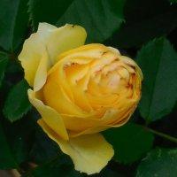 Розы, розы... :: Вячеслав Медведев
