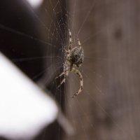 паук :: Алена Д