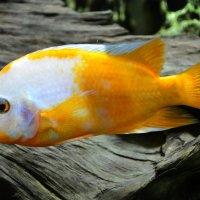 У золотой рыбки тоже есть свои желания :: Наталия П