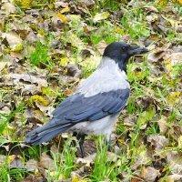 Ворона в ожидании... :: Маргарита Батырева