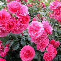 Роскошные розы. :: Александр Куканов (Лотошинский)