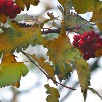 Пламя ягод в ноябре... :: Тамара (st.tamara)
