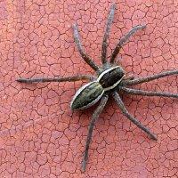 Паучки не гуляют по стенам без страховочной паутинки. :: Александр Куканов (Лотошинский)