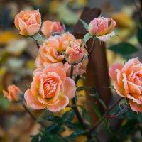 Морозные розы :: Наталья Васильева