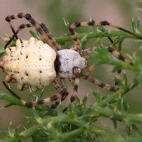 Аргиопа степная,или паук-патиссон. :: Александр Гризодуб