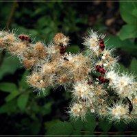 Пестряки пчелиные. :: Anatol Livtsov