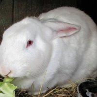 Белоснежный кролик. :: Александр Куканов (Лотошинский)