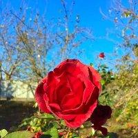 Осенние  розы :: Алла ZALLA